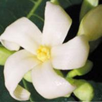 Fleurs Du Bush Australien Paw Paw